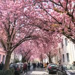 How to Visit the Cherry Blossom Trees in Bonn, Germany
